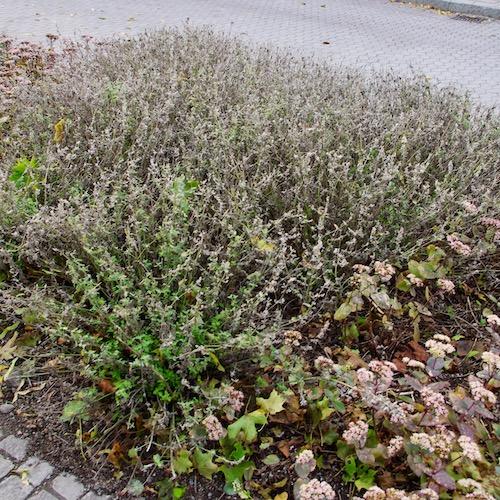 Överblommad kantnepeta. Bild tagit i Enköping i september