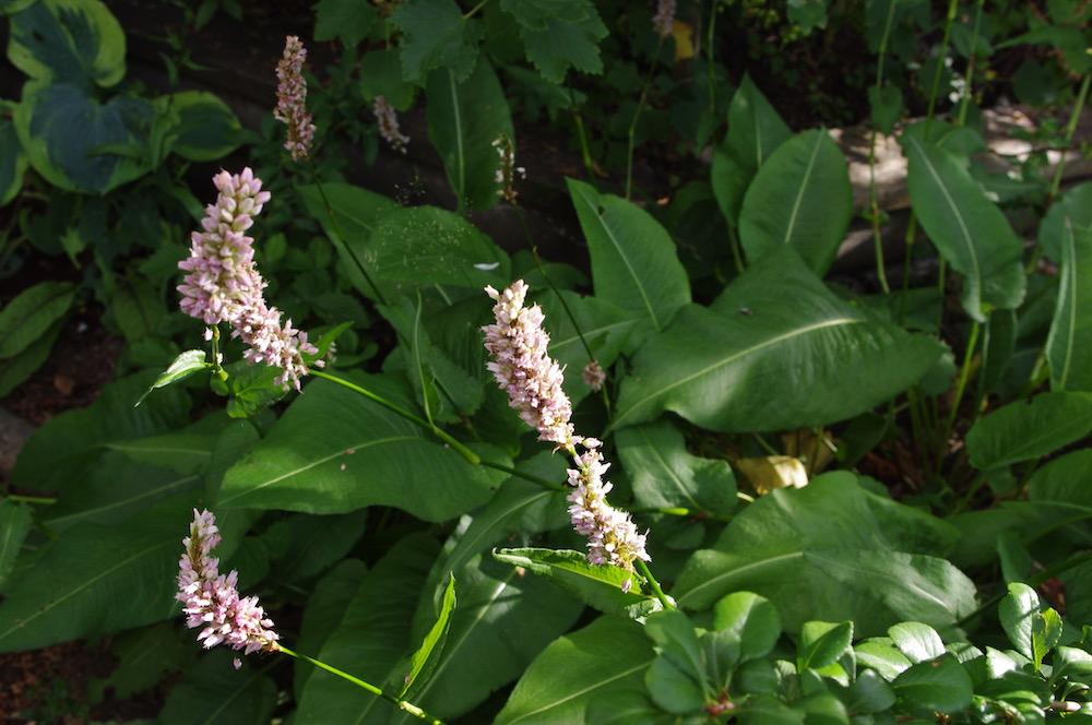 Stor ormrot (Bistorta officinalis)