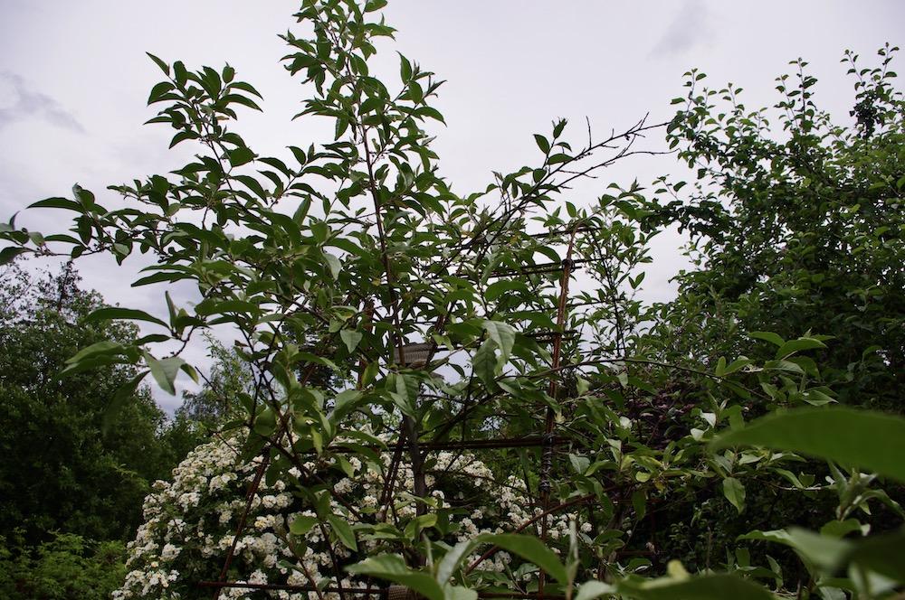 Koreansk silverbuske (Elaeagnus umbellata)