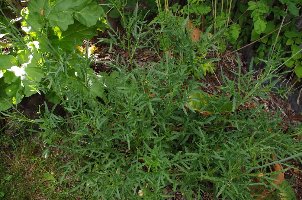 Sandsenap (Diplotaxis tenuifolia)