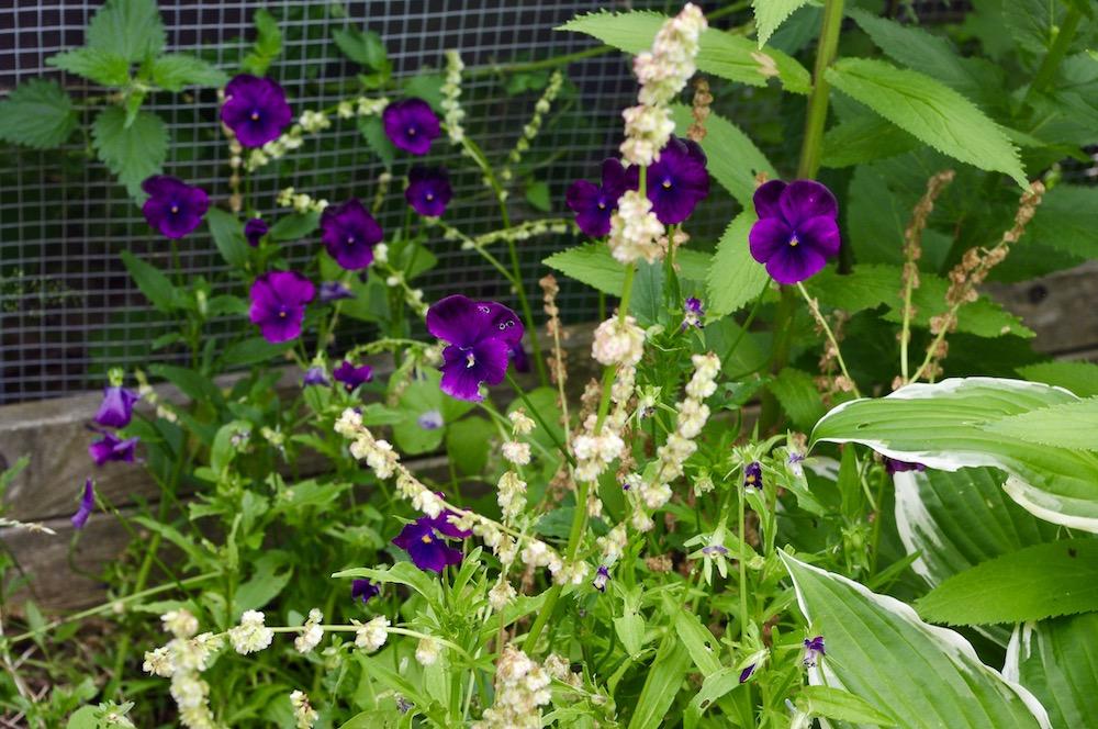 Bukettviol (Viola cornuta)