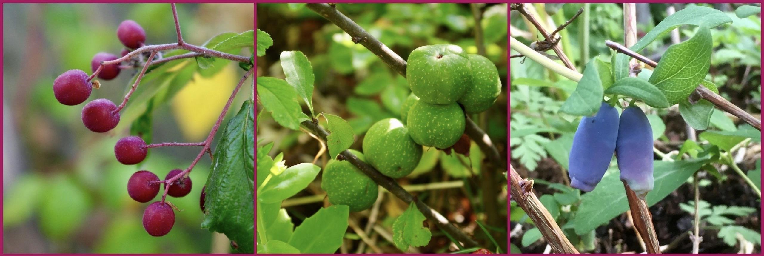 I den här ätbara trädgården ingår även lite ovanligare bärbuskar. T.v. Sötrönn 'Granatnaja', en korsning mellan rönn och hagtorn. I mitten liten rosenkvitten och t.h. blåbärstry
