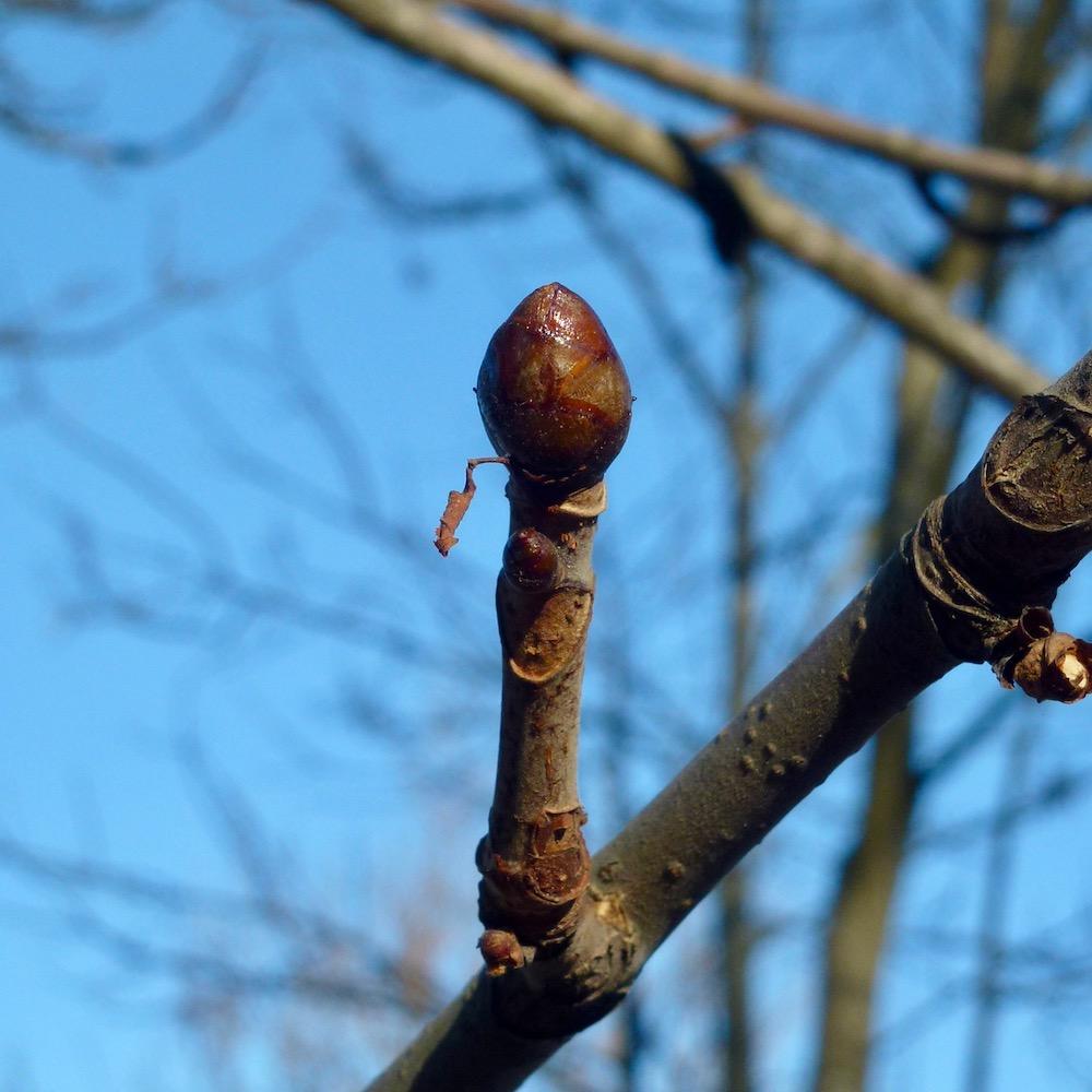 Vinterknopp hästkastanj, Aesculus hippocastanum
