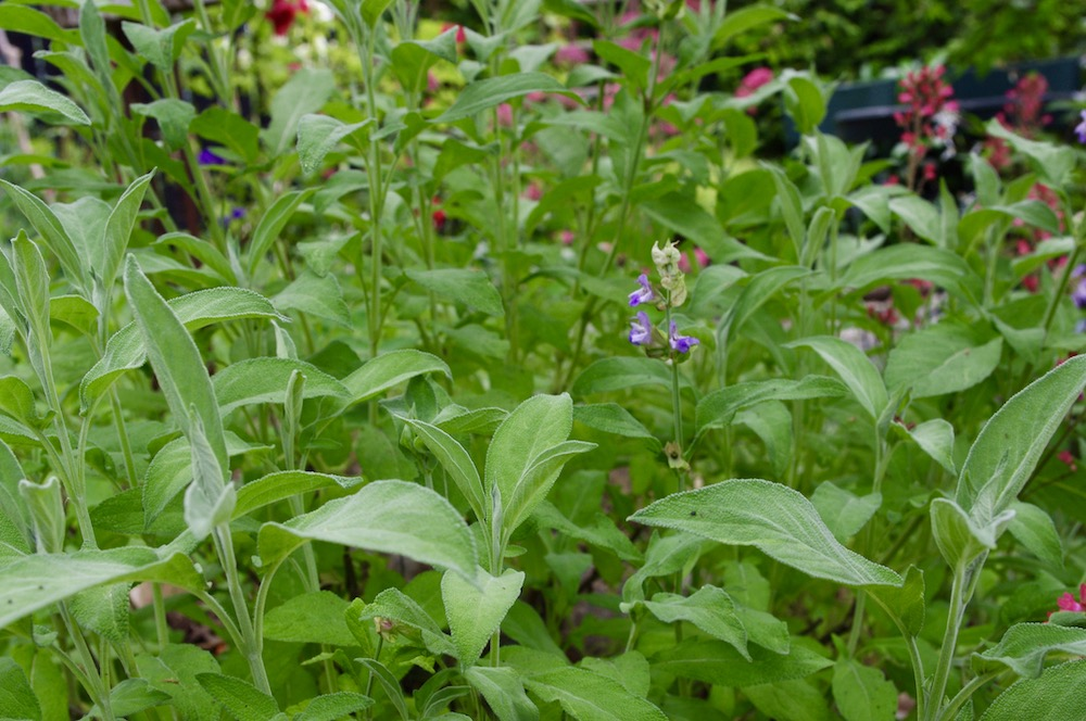 Kryddsalvia (Salvia officinalis)