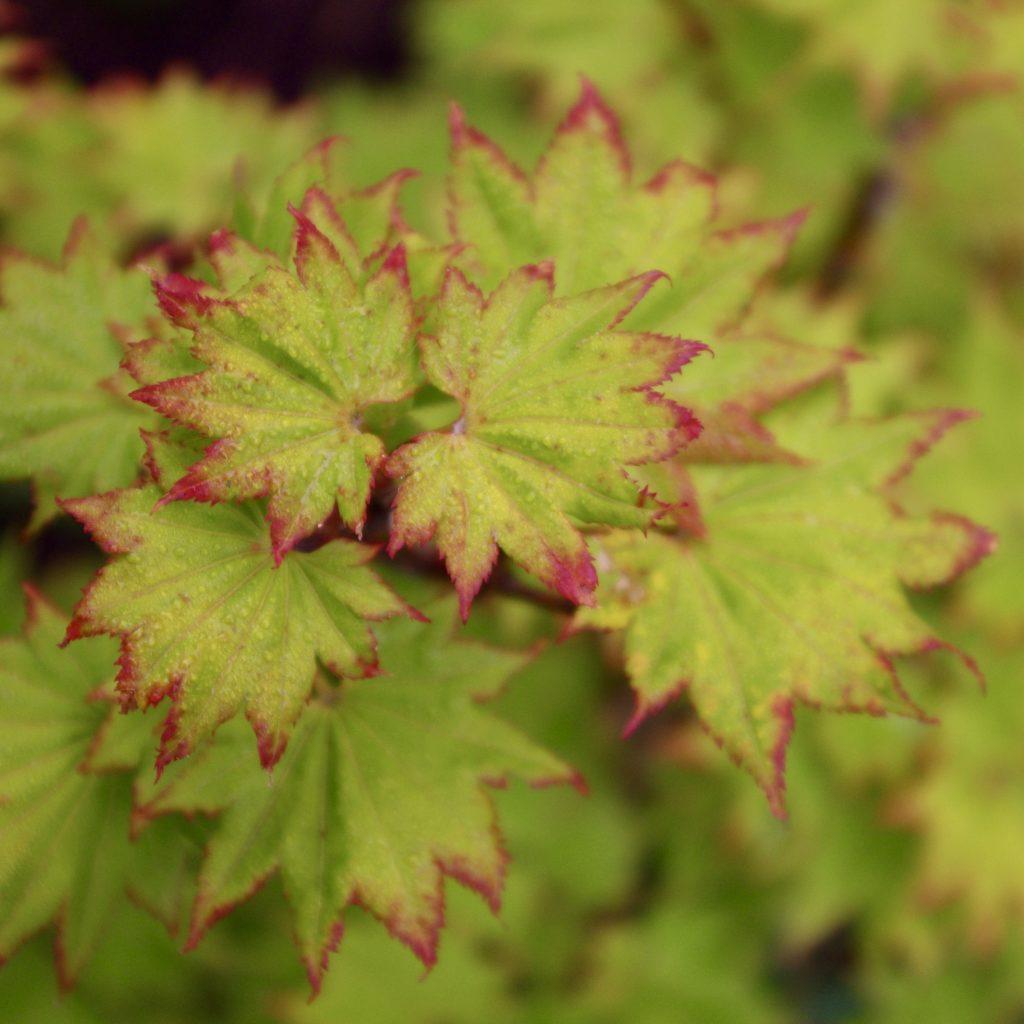 Utsökt detalj på bladen av Acer shirasawanum, shirasawalönn
