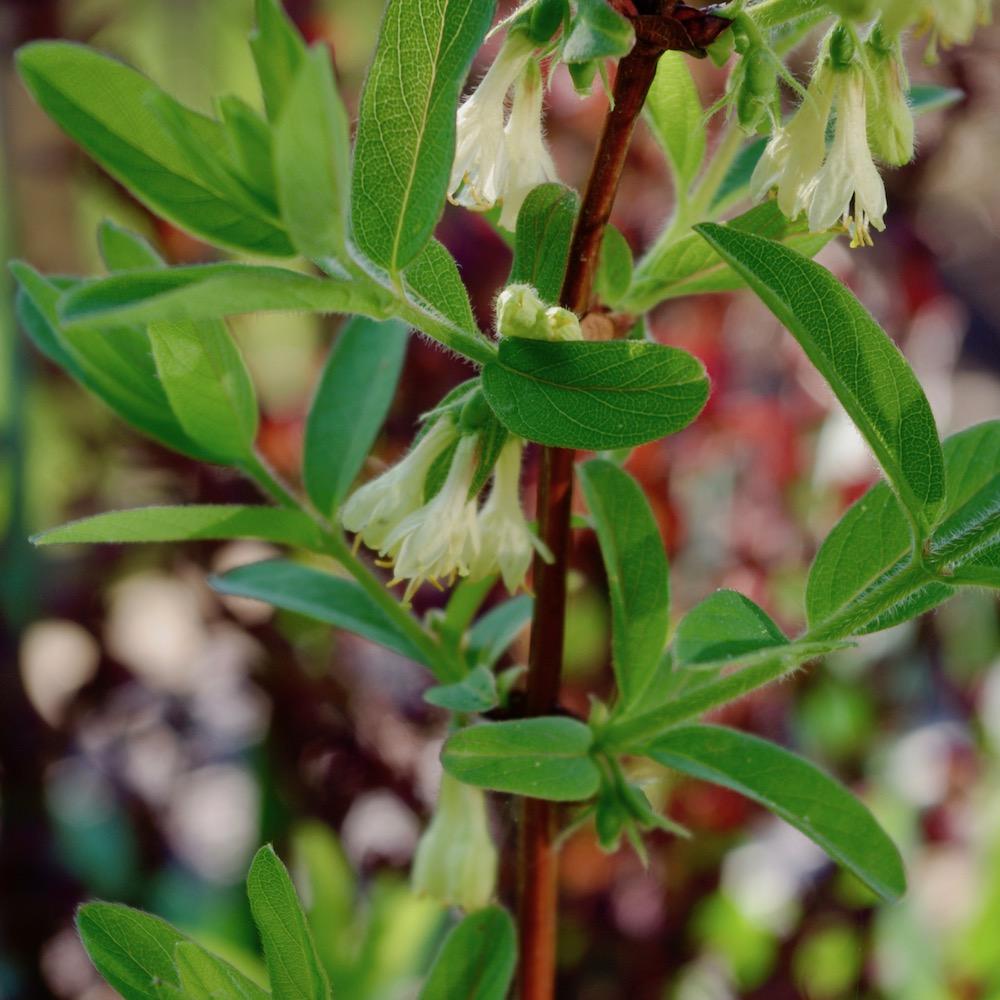 Blommorna på blåbärstry är en viktigt näringskälla för de tidigt vaknande humledrottningar.