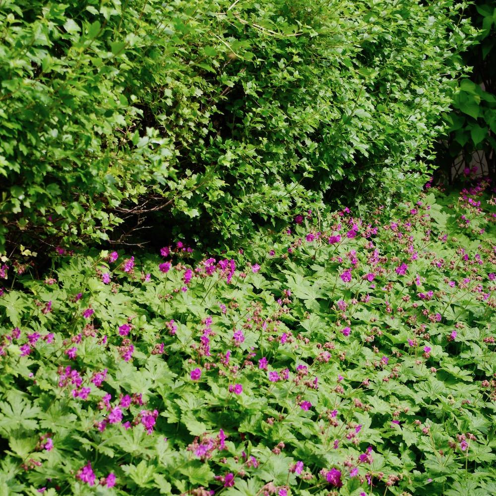 Geranium macrorrhizum, flocknäva planterat i en smal remsa framför en häck.