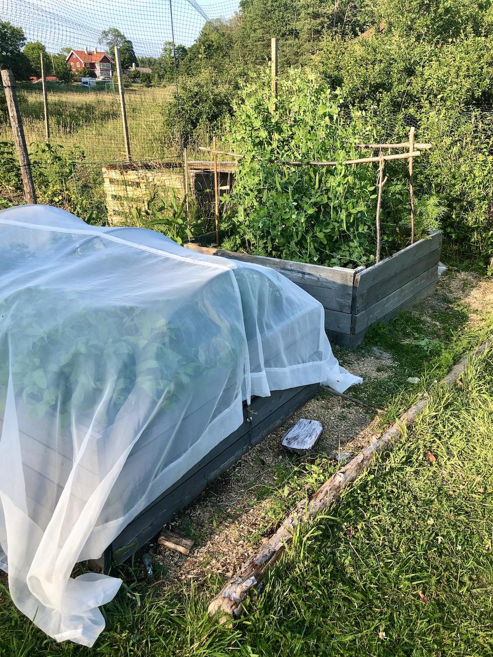 Grönsaksbädd skyddade av gardiner