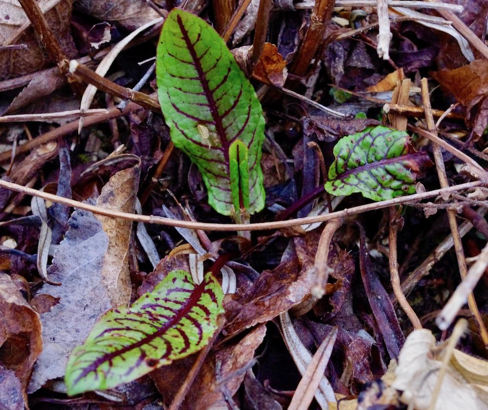Trädgårdssyra, Rumex rugosus