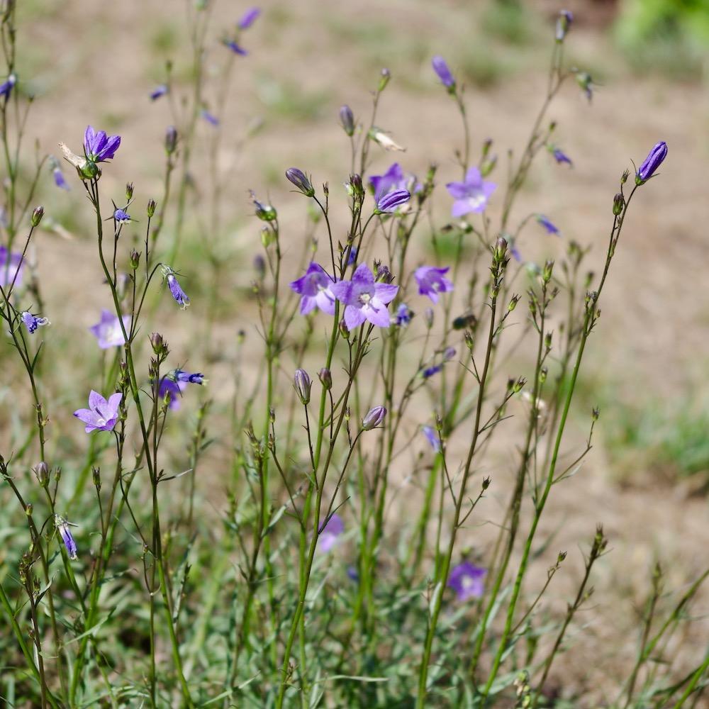 Vilda blommor i gräsmattan