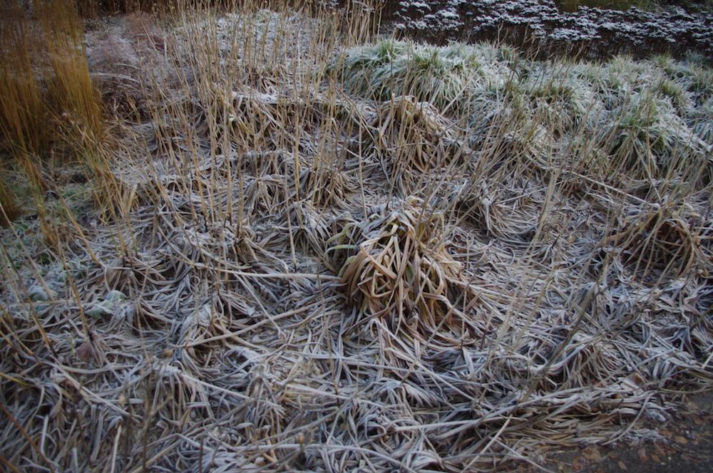 Daglilja, Hemerocallis 'Pardon Me' i december