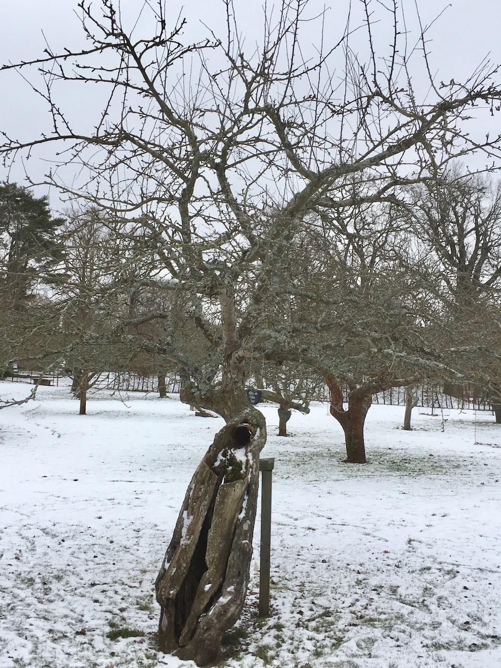 Gammal fruktträd Rosendal