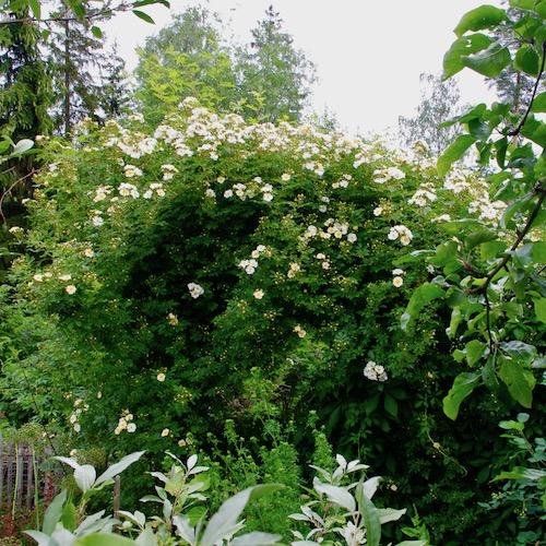 Honungsros längst ner i min trädgård