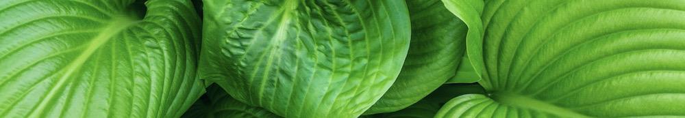 Funkia eller Hosta är både en ätbara perenn och vacker bladväxt som är väldigt användbart i trädgårdsdesign