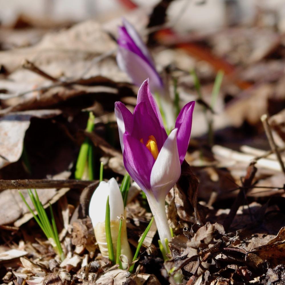 Första blommande krokus